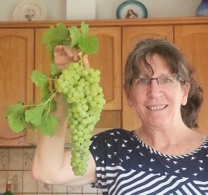"Sweet grapes from our burgeoning vine, brought as a welcome-to-the-region gift and planted 28 years ago or so when we moved into our house, by Abu Ghazi, the ""patriarch"" of the workers from the neighboring Palestinian village, in a different era, who built our house."