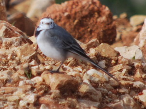 White wagtail. Photo: Miriam Feinberg Vamosh