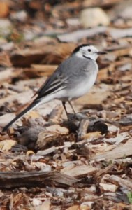 White wagtail use this 2