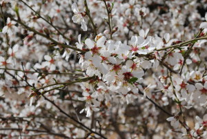 Almond blossoms in my neighborhood of Har Adar