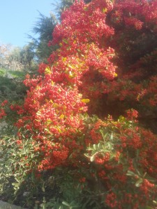 "A ""burning bush"" (actually a firethorn, or (pyracantha), near my home in Har Adar."