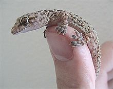 A Mediterranean house gecko. Is this what Proverbs 30:28 meant? (Wikipedia)