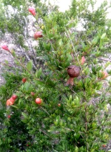 Budding pomegranate fruit