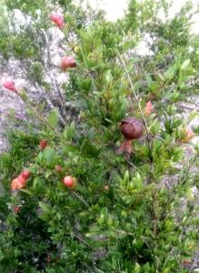Budding pomegranate fruit