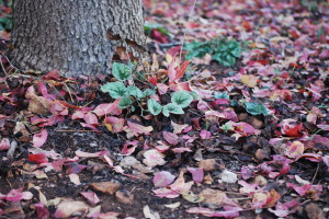 First winter cyclamen leaves poking through a terebinth-leaf carpet under our local tree.
