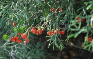 A spray of pyracantha in its natural setting in my Judean Hills home, with my wishes for a wonderful holiday