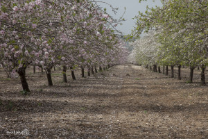 An almond grove in Israel. Photo: Nissan Lev-Ran. Pikiwiki Israel.